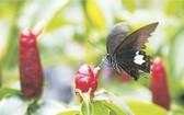 蝴蝶採花 施根強 攝