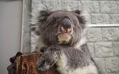 """考拉Midori被吉尼斯世界紀錄認證為""""史上最高齡圈養考拉""""。(圖源:吉尼斯世界紀錄))"""