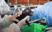 科學家們通過體細胞克隆技術進行的無性生殖,本月10日四頭大肚豬順利問世並健康成長。(圖源:農業與農村發展部)