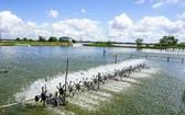 圖為南部某一草蝦養殖場。