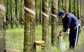 一名女工在橡膠樹林裡收穫液體橡膠。(圖源:垂楊)