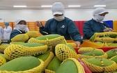 出口的芒果均達VietGAP 和 GlobalGAP 標準。(圖源:阮幸)