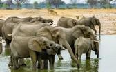 圖為津巴布韋萬基國家公園裡的象群。(圖源:互聯網)