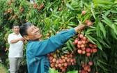 海陽省荔枝在4個電商平台上架