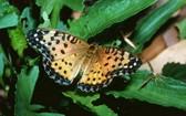 這是澳洲斐豹蛺蝶的資料照片。(圖源:新華社)