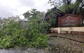 一棵大樹遭旋風吹倒。(圖源:互聯網)