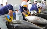 圖為黃鰭金槍魚粗加工工段。(示意圖源:互聯網)
