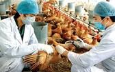 獸醫人員為雞群注射禽流感疫苗。(示意圖源:)