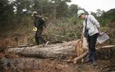 職能力量在測量一棵被非法砍倒的大樹。(圖源:越通社)