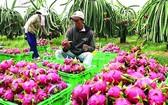 農民在收成火龍果。(圖源:互聯網)