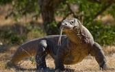 """世界上最大的蜥蜴科莫多巨蜥的物種保護級別從""""易危""""升為""""瀕危""""。(圖源:互聯網)"""
