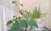 陳可愛種植的盆景使住房空 間更「綠化」。