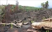 位於富安省山和縣的大塊樹林區遭砍伐。(圖源:越通社)
