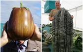 茄子(左圖)和翠玉瓜尺寸驚人。(圖源:互聯網)