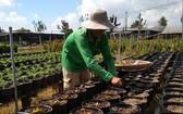 花農正培育花苗,準備為春節市場服務。