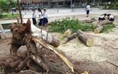 平陽省某小學鳳尾樹連根拔起(圖源:互聯網)