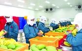 越南芒果出口到世界多個市場。