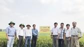 """Mô hình """"Canh tác lúa thông minh"""" được triển khai tại 13 tỉnh của ĐBSCL."""