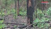 Hàng ngàn cây thông rừng gần 20 năm tuổi ở Lâm Đồng bị hạ độc