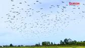 """Đàn chim """"lạ"""" hàng ngàn con xuất hiện ở Quảng Trị"""