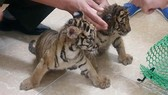 Bắt vụ vận chuyển 2 hổ con quý hiếm bằng xe mô tô