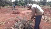 Vợ chồng nông dân khóc tức tưởi vì 500 cây ăn quả bị chặt phá ngang gốc