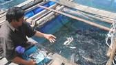 Nuôi cá bớp lồng bè ở đảo Hòn Chuối