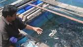 Nuôi cá bớp khu vực đảo Hòn Chuối