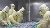 Chế biến tôm xuất khẩu tại một nhà máy trên địa bàn Cà Mau