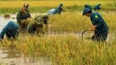 Cà Mau: Bộ đội giúp dân thu hoạch lúa bị ngập úng kéo dài