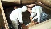 Cà Mau: Tăng cường khống chế bệnh dịch tả heo châu Phi