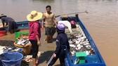 Cá trên sông La Ngà đang bị bán đổ, bán tháo với giá rẻ