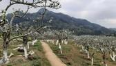 Rừng hoa lê Bắc Hà-Lào Cai, một trong điểm nhấn thu hút khách du lịch