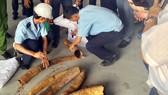 Cán bộ hải quan TPHCM cùng các cơ quan chuyên trách kiểm đếm số ngà voi vận chuyển trái phép