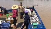 Cá bè La Ngà lại chết trắng sau mưa lớn