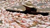 Bộ Tài nguyên và Môi trường đề nghị Đồng Nai sớm xác định nguyên nhân cá chết trên hồ Trị An
