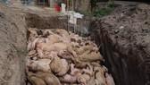 Đồng Nai: Điều tra nguyên nhân tái dịch tả heo châu Phi ở xã Đồi 61