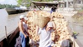 Coconut farmers not make much profit despite high prices
