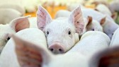 One more farm in northern Vietnam reports African swine fever
