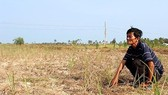 A paddy field is hit by salinity in Mekong delta ( Photo : SGGP)