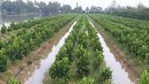 Farmers in the Mekong delta grow jackfruit on infertile paddies  (Photo:  SGGP)