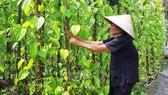 80-year-old villager Phan Thi Nam is taking care of her betel plants (Photo: SGGP)