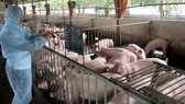 Gov't to support pig farmers in regions affected by African swine fever