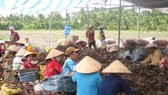 Falling prices of sweet potatoes in Mekong Delta leave farmers crying