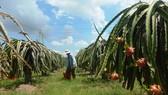Binh Thuan develops plan to consume 440,000 tons of dragon fruit