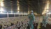Chăn nuôi phải đăng ký để tránh tình trạng giải cứu