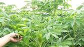 57ha khoai mì của nông dân Quảng Ngãi bị bệnh khảm lá