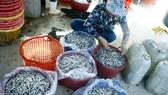 Ngư dân Quảng Ngãi được mùa cá cơm sớm