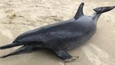 Phát hiện cá heo nặng 60kg trôi dạt vào bờ biển Quảng Ngãi