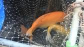 Quảng Ngãi: Độc đáo nuôi cá Koi Nhật trong lồng bè trên sông Trà Khúc